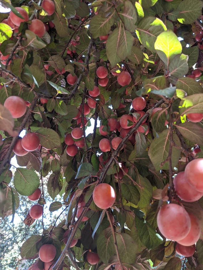 Plum tree heavy with fruit.